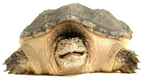 Free Snapping Turtle PNG Transparent Images, Download Free ...