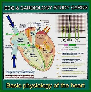 The 25  Best Cardiac Anatomy Ideas On Pinterest