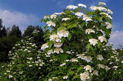 arbusti dai fiori rosei il viburnum o viburno bellissimo albero dai fiori profumati