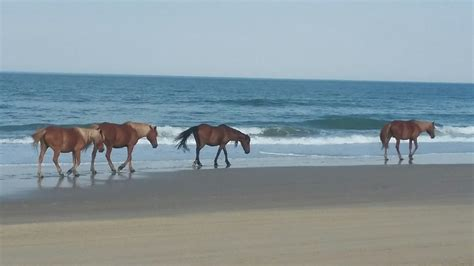 carolina north wild beach beaches horses camel