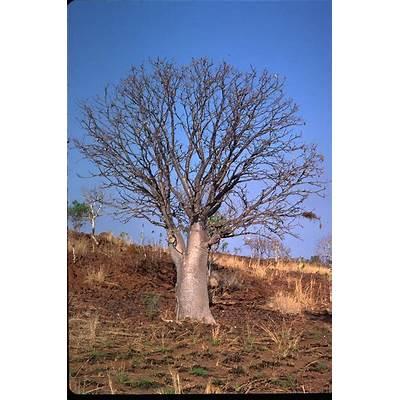 Adansonia gregorii Images - Useful Tropical Plants