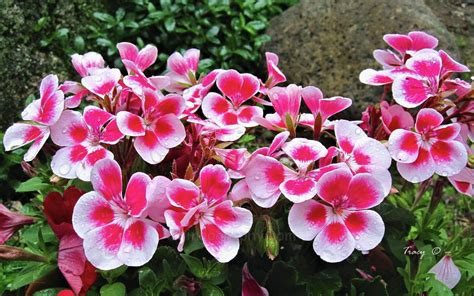 picture of geranium flower pelargonium geranium easy flower project to start a spring backyard garden bored fast food