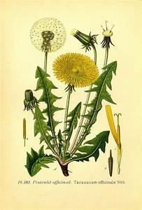 Plante Detoxifiante : diur tique diur tique naturel diur tique puissant ~ Melissatoandfro.com Idées de Décoration