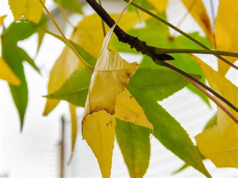 Yellow Leaves On Guava Tree