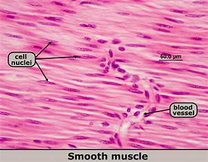 1. Smooth – Introduction To The Muscular System by Human ...