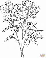 Coloring Peony European Officinalis Paeonia Common Drawing Printable Paper Crafts sketch template