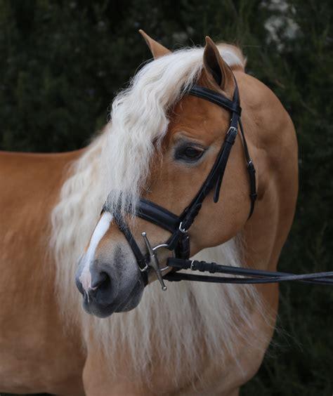 haflinger horses stellar stallion pony link horizons halflinger breeding foals sales mares information