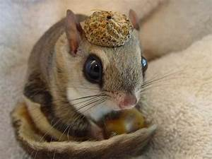 baby Japanese dwarf flying squirrel