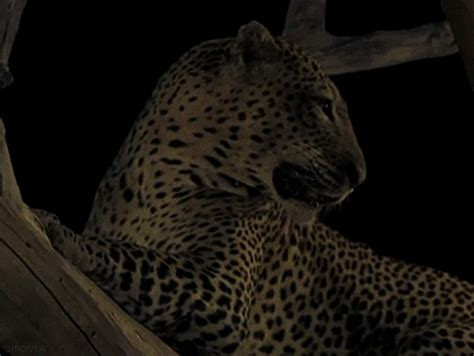 amazing animated cheetah leopard panther cat gifs