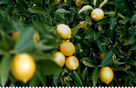quand planter un citronnier en pot 28 images quand planter 1 citronnier les plantes fruti