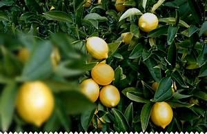 Planter Un Citronnier : citronnier pr parer planter tailler entretenir avec ~ Melissatoandfro.com Idées de Décoration