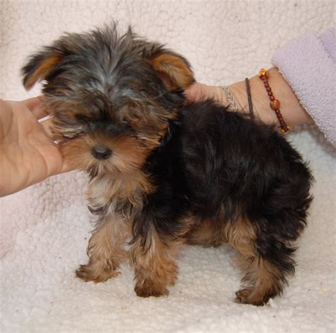 The Gallery For Adult Teacup Yorkie Poo