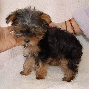 The gallery for --> Adult Teacup Yorkie Poo