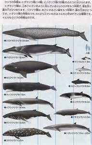クジラ:kujjira-zukan01.jpg