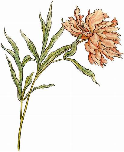 Peony Clip Flower Clipart Graphics Illustrations Flowers