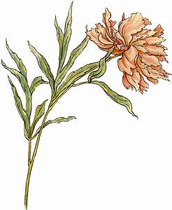 Vintage Peony Illustration - Beautiful