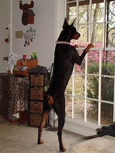 "best ""watch"" dogs, they miss NOTHING!! #Doberman ..."