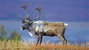 Caribou Definition What Is