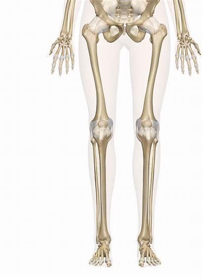 Bones Leg Foot Skeleton Diagram Anatomy Skeletal