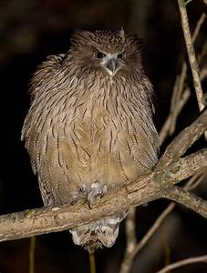 Flying Animal: The Blakiston's Fish Owl