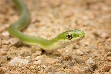 green snake caring for pet green snakes smooth and rough