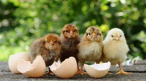 japanische forscher zuechten huehner die eier mit medizin legen
