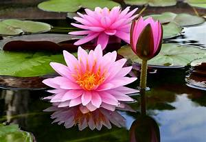 Water Lily-nymphaea