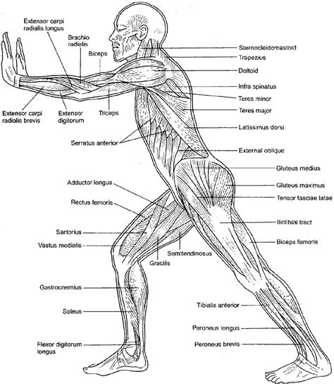 Major Muscle Groups Worksheet Archives  Human Anatomy Chart