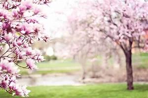 Rosa Blühender Baum Im Frühling : kostenlose bild rosa magnolie baum fr hling ~ Lizthompson.info Haus und Dekorationen