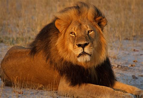 Lion: A Predator Who Knows No Boundaries | NewsRead.in