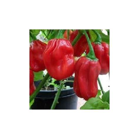 habanero chili pflanze kaufen habanero chili samen kaufen