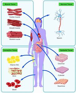 Different Types Of Cells Human Body