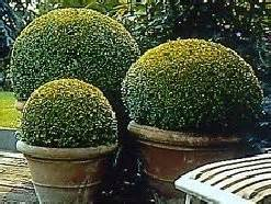 Laurel Bay Nursery by How To Design Plant And Maintain A Box Hedge