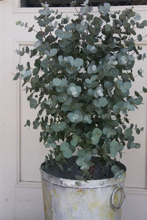growing eucalyptus indoors eucalyptus fragrant and mine have been extremely fast growing planted it a year ago it was 3