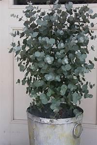 Eucalyptus En Pot : eucalyptus fragrant and mine have been extremely fast ~ Melissatoandfro.com Idées de Décoration