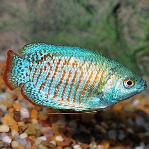 Tropical Fish for Freshwater Aquariums Neon Blue Dwarf