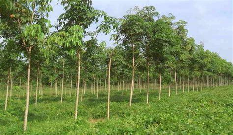 dosis pupuk tanaman karet muda karet produksi hingga
