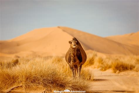 How To Get To The Sahara Desert In Morocco Mowgli Adventures