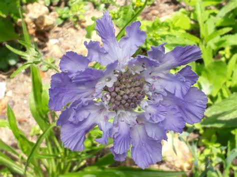 Scabiosa Caucasica Perfecta Blue