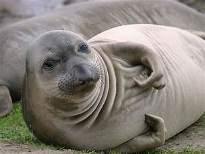 Life of Northern Elephant Seal | Life of Sea