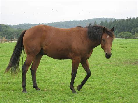 quarter horse wikipedia commons wikimedia