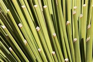 Yucca Palme Braune Blätter : yucca palme hat schwarze spitzen woran liegt 39 s palmlilie ~ Lizthompson.info Haus und Dekorationen