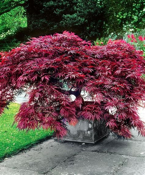 how to shape a maple tree japanese maple dissectum garnet my favorite trips