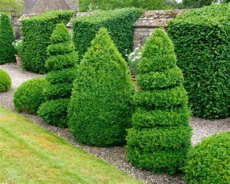 Buxus sempervirens COMMON BOXWOOD Seeds for sale online