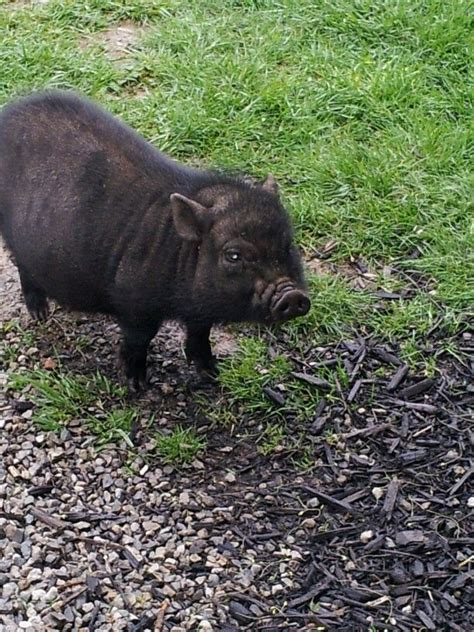 pot belly pigs pot belly pig in memory of my piggie rufus friends pinterest