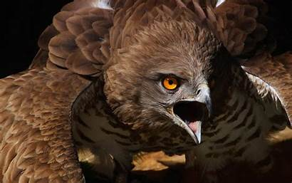 Hawks Silver Hawk Animal