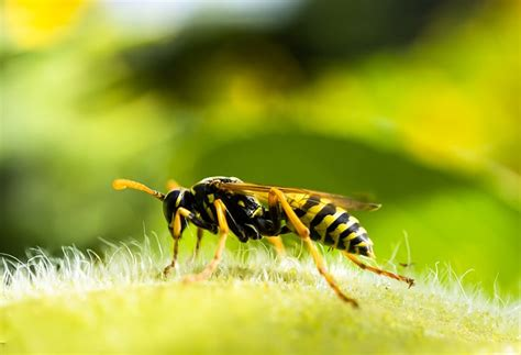 nutzen wespen unterschiede zwischen bienen und wespen bee careful