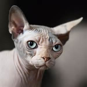bald cats hairless cats facts about special cats with special needs