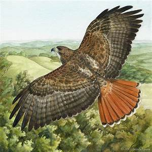 Red-Tailed Hawk by windfalcon on DeviantArt