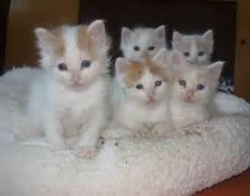 Cat Turkish Van Kittens